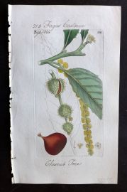 Sowerby C1805 Hand Col Botanical Print. Chestnut Tree 886